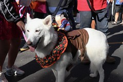 Scarlett (Webfoot5) Tags: dog dogs dogsonwalks dogzonwalkz germanshepherd husky wolf