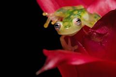 Glass Frog (Jen St. Louis) Tags: hyalinobatrachiumvalerioi amphibian captive frog glassfrog treefrog nikond750 nikon105mmf28 jenstlouisphotography wwwjenstlouisphotographycom