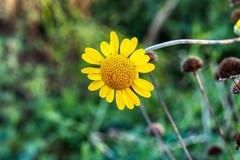 FIDO0110 (Friedhelm Dötsch) Tags: blümkes gruga blumen essen deutschland flowers germany