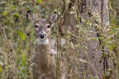 White-tailed Deer (DFChurch) Tags: new river trail state park virgina white tailed deer wild wildlife