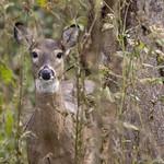 White-tailed Deer thumbnail