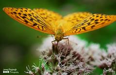 metulj (Nstajn) Tags: sonya7ii sony a7 minolta minoltaaf minoltaaf50macro macro butterfly nature flower animalplanet animaladdiction insect summer ngc bokeh