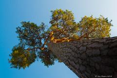Hoge bomen vangen veel.......schoonheid! (Jan Bogers) Tags: moretusbos janbogers d800 denneboom arbr de pin pine tree solitaire solitary solitair brabant westbrabant nederland paybas neherlands