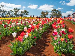 Tesselaar Tulip Festival (smjbk) Tags: tulips victoria australia tesselaartulipfestival tulipfestival silvan flowers tulip
