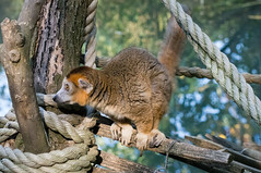 Kroonmaki - Crowned lemur ♂ (Den Batter) Tags: nikon d7200 zooparc overloon kroonmaki crownedlemur eulemurcoronatus