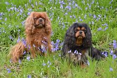 Poles Coppice Bluebells (Seventh Heaven Photography **) Tags: poles coppice bluebells flowers flora blooms wild dog cavalier king charles spaniel carpet shropshire england nikon d3200