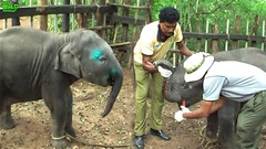 Baby Elephant found human heroes to save him from Hakka Patas Trap (THE WILD ELEPHANT) Tags: huge elephant rescue video youtube quite baby funny kids videos the wild wildlife news tv