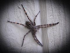 spooky spider (bidutashjian) Tags: spider insect nikon closeup wall bidutashjian