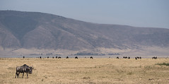 Lonely wildebeest with herd in distance (RedPlanetClaire) Tags: nationalpark eastafrica tanzania safari african ngorongorocrater worldheritagesite conservationarea wild animals lonely wildebeest single herd