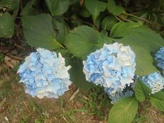 216 (en-ri) Tags: ortensia azzurro sony sonysti bush cespuglio foglie leaves