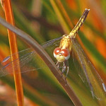 teensy dragonlet - first ever in Fall (Erythrodiplax minuscula) thumbnail