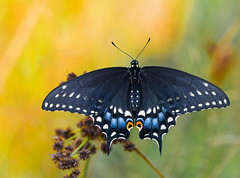 Black Swallowtail (Bernie Kasper (4 million views)) Tags: art berniekasper butterfly blackswallowtail cliftyfalls d600 family flowers flower fall hiking indiana indianawildflowers insect insects indianabutterflies jeffersoncounty kasper light landscape leaf leaves love madisonindiana macro nature nikon naturephotography new outdoors outdoor old outside photography park plants plant raw travel summer sigma statepark unitedstates usa wildflower