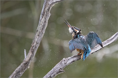 Alcedo atthis (Francesc //*//) Tags: alcedoatthis blauet blavet martínpescador martinpêcheurdeurope commonkingfisher flix animal au bird pájaro ocell ocells oiseau natura naturaleza nature