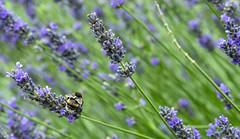 bee-utiful (acase1968) Tags: kew gardens bee purple flower nikon d500 london england nikkor 24120mm f4g
