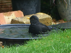 blackbird male bather (river crane sanctuary) Tags: blackbird male rivercranesanctuary