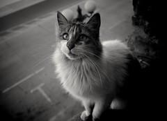 Katty 10152018 (mcg0011) Tags: gato cat cute chat kat katze hauskatze katt kot neko blackwhite blancoynegro monocromatico manuelcarrasco mascota pet