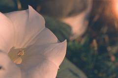 (g026r) Tags: macro kmount flower fuji smcpentaxm40mmf28 fujichromeprovia400f pentaxsuperprogram roll255 film colour 135film asahiopticalco expired manualfocus primelens reversalfilm slidefilm