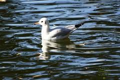 Floating seagull (Jurek.P) Tags: birds bird mewa seagull floatingseagull water citypark warsaw warszawa kępapotocka capitalcity jurekp sonya77