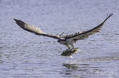 _A2I4392  (EXPLORED) (Ashala Tylor Images) Tags: o osprey sepulvedabasin wings fish fishing talons explore