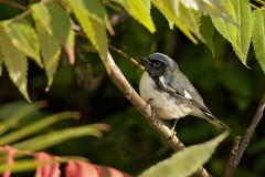 Black-Throated Blue Warbler (Chizuka2010) Tags: bird warbler blackthroatedbluewarbler paruline birdphotography birdsofcanada birdsofontario birdsofottawa canadianfauna faunecanadienne