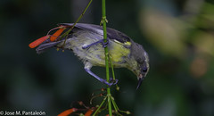 """11-No se me había ocurrido que su nombre común de """"PINCHITA"""" podía estar asociado al acto de """"PINCHAR"""" las flores para extraer su nectar como puede apreciarse en esta serie. Solo hoy se me ha encendido el bombillo sobre esta curiosidad (Cimarrón Mayor 16,000.000. VISITAS GRACIAS) Tags: ordenpasseriformes familiathraupidae génerocoereba pinchita pincha ciguirillin platanero bananaquit cigüita ciguítacomún mielero mielerocejiblanco mielerocomún plataneracomún reinita reinitacomún reinitamielera nombrecientificocoerevaflaveolabananivora nombreinglesbananaquit lugardecapturarrpsantodomingo repdom ave vogel bird oiseau paxaro fugl pássaro птица fågel uccello pták vták txori lintu aderyn éan madár cimarrónmayor panta pantaleón josémiguelpantaleón objetivo500mm telefoto700mm 7dmarkii canoneos canoneos7dmarkii naturaleza libertad libertee libre free fauna dominicano pájaro montañas dominicanrepublic quisqueya repúblicadominicana caribe républiquedominicaine caraïbes caraibi repubblicadominicana dominikanischerepublik karibik karaiby dominikana dominikarerrepublika karibe dominikanskerepublik caribien dominikanskerepublikk karibien"""