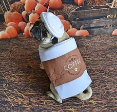 Pumpkin Pug Spiced Latte Anyone? (DaPuglet) Tags: pug pugs dog dogs animal animals pet pets costume halloween latte coffee pumpkin pumpkins funny lol cute fun starbucks spice coth5