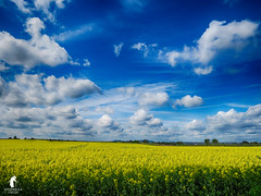Yellow Field (spennells pensioner) Tags: rapefield yellow spennells kidderminster seeds sky clouds blue atmospheric landscape worcestershire summer