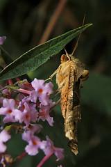 Angle Shades  (Phlogophora meticulosa) 1 (nedjetwave) Tags: nature wildlife gardenwildlife garden fauna insects invertebrates angleshades nikon d70s phlogophorameticulosa nikkor1870