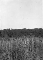 dead sunflowers (salparadise666) Tags: intrepid mk2 schneider symmar 210mm fomapan 200 boxspeed caffenol stand 60min nils volkmer large format film analogue view camera vertical hannover region germany bw black white monochrome landscape tree countryside