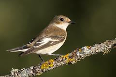 Visitante temporal. (Fotografias Unai Larraya) Tags: papamoscascerrojillo navarra aves naturaleza fauna ngc bosque