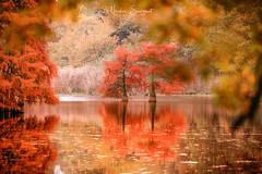 Cyprès Chauve - Autumn 2018 (Njones03) Tags: 2018 arbres automn autumn cypreschauve etangdebaix lake nicolassavignat tree charette isère france fr