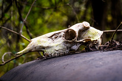 Project 52: Week 42 (Stacey Conrad) Tags: d7500 nikon pa phoenixville upperschuylkillrivertrail project52 pennsylvania unitedstates us skull bones