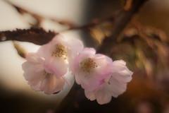 Winter-Cherry (ursulamller900) Tags: trioplan2950 extensiontube 12mm makroring winterkirsche wintercherry blossoms blüte november bokeh