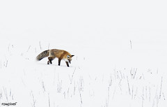 A red fox prowls for voles, hidden beneath the snow, in Yellowstone National Park in the western U.S. state of Wyoming. Original image from Carol M. Highsmith's America, Library of Congress collection. Digitally enhanced by rawpixel. (Free Public Domain Illustrations by rawpixel) Tags: otherkeywords tags tagcc0 america animal carolhighsmith carolmhighsmith cc0 coyote forest fox foxes mammal nationalparks nature outdoors redfoxes snow unitedstates unitedstatesofamerica usa wild wildlife winter wyoming yellowstonenationalpark