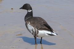 Brant (aaabela) Tags: anatidae anseriformes aves brant branta brantabernicla california chordata pismobeach sanluisobispocounty bernicla bird