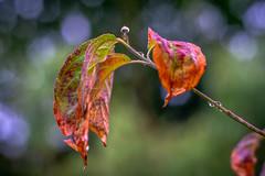 Herbstlaub - Autumn leave (Of Light & Lenses) Tags: autumnleave autumncolors dogwood hartriegel naturfoto rheinland carlzeissplanar vintagelens herbst