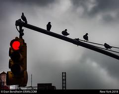 fall tune of the birds (eraneran70) Tags: eran bendheim nikon p1000 avian birds light traffic clouds urban weather fall