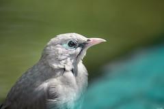 Grey bird (Rico the noob) Tags: dof bokeh d850 nature birds outdoor animal published 2018 300mm 300mmf4pf bird closeup zoo eye stuttgart animals germany
