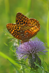 the butterfly and the thistle (christiaan_25) Tags: greatspangledfritillary speyeriacybele butterfly lepidoptera wings spots orange black insect thistle flower wildflower prairie nature sunlight green