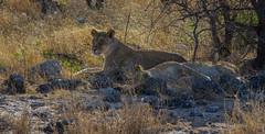 Lionnes ( Philippe L PhotoGraphy ) Tags: afrique namibie lionne fauve arbre chaleur pentaxk1 pentax philippelphotography afric namibia désert etosha dunesoiseaux rapace