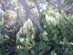 IMG_3773 (shearwater41) Tags: australia tasmania cradlemountain dovelake tree bark texture eucalypt