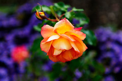 """Garden Rose Sahara"" (helmet13) Tags: d800e raw flora flower gardenrosesahara blueaster botanicalgarden selectivefocus bokeh colorful colors autumn fall aoi peaceawards world100f"