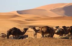 Camels (jmaxtours) Tags: camels sahara moroccan desert saharadesert moroccansahara animals camel animal sand dune
