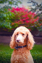 Fall Poodle (Micro_Op) Tags: nikon d500 tamron nikkor fall poodle dog dogds dogs