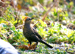 Rusty Blackbird (Male - Non-breeding) (Jewill16) Tags: burnabylake piperspit burnaby bird feather blackbird grass