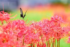 ヒガンバナ 2018 #11ーRed spider lily 2018 #11 (kurumaebi) Tags: yamaguchi 秋穂 山口市 nikon d750 nature landscape 花 ヒガンバナ 彼岸花 flower redspiderlily bug アゲハ 蝶 butterfly