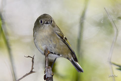 Ruby-crowned Kinglet (jt893x) Tags: 150600mm bird d500 jt893x kinglet nikon nikond500 reguluscalendula rubycrownedkinglet sigma sigma150600mmf563dgoshsms songbird thesunshinegroup coth alittlebeauty coth5