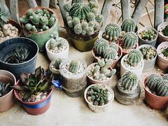 🌵🌵🌵 (KM Solis) Tags: cactus succulents plants