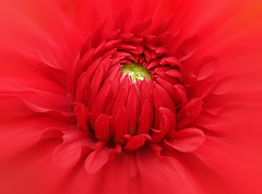 mostly red (HocusFocusClick) Tags: flower heart center dahlia red nature hocusfocusclick petals water wet