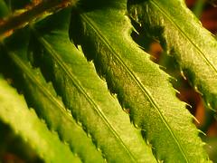 Polystichum munitum (Jörg Paul Kaspari) Tags: parkgarten herbst autumn fall farn fern polystichum munitum polystichummunitum kalifornischer schwertfarn